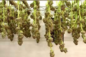 Wholesale Marijuana
